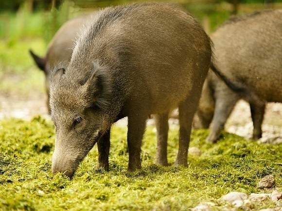 Zielonogórskie dziki coraz częściej zapuszczają się na tereny zamieszkałe przez ludzi.