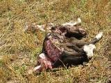 Pastuchy elektryczne ochronią bydło przed wilkami (zdjęcia)