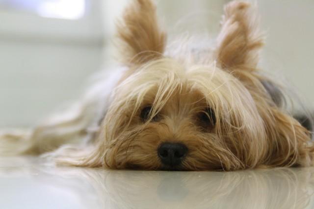 Małe rasy psów. Chihuahua, yorkshire terrier, shih tzu, sznaucer miniaturowy i inne, które nadają się do bloku.