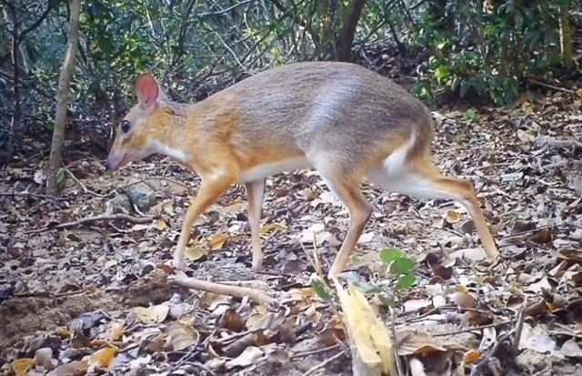 Tak wygląda dawno niewidziany myszo-jeleń