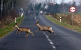 Potrąciłeś dzikie zwierzę na drodze? Sprawdź, jak się zachować i gdzie dzwonić. Potrącenie zwierzęcia. Tak wyglądają przepisy!