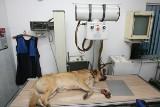 Zwierzęta chorują jak ludzie, przychodnie weterynaryjne ograniczają przyjęcia, telefoniczne konsultacje przed wizytą