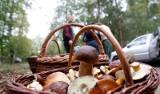 Sporo grzybów w dolnośląskich lasach. Gdzie się wybrać? (LOKALIZACJE)