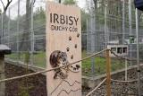 Zoo w Chorzowie ma nowy wybieg dla panter śnieżnych. Irbisy zyskały dużo większą przestrzeń. Zobaczcie koniecznie te piękne koty!