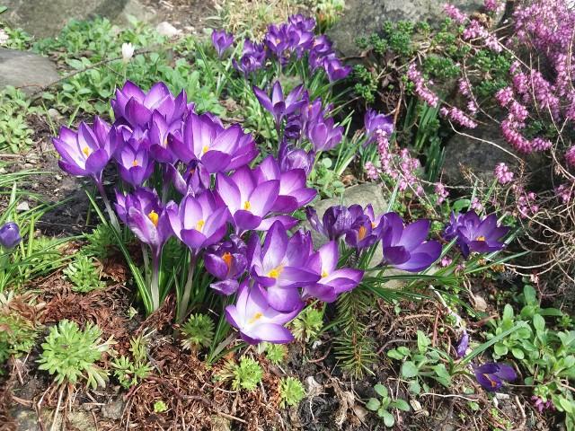 Skalniak w pięknie kwitnącymi krokusamiKrokusy sprawią, że nasz skalniak będzie kolorowy od pierwszych dni wiosny.