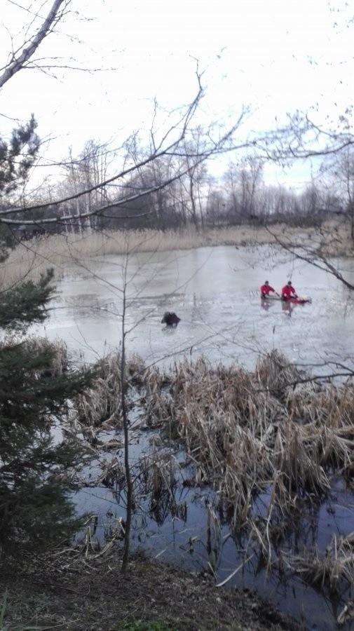 Lód pod zwierzęciem załamał się na tzw. starym wisłoczysku w pobliżu drogi w Dębinie w powiecie łańcuckim. Wczoraj, po godz. 15, policjanci otrzymali zgłoszenie o dużym zwierzęciu, które nie może się wydostać ze skutej lodem wody. Okazało się, że na tzw. starym wisłoczysku w miejscowości Dębina pod łosiem załamał się lód. Zwierzę nie było w stanie wyjść z wody o własnych siłach.Policjanci zabezpieczyli miejsce zdarzenia, natomiast na lód, z łodzią i saniami lodowymi, weszli strażacy Jednostki Ratowniczo-Gaśniczej PSP w Łańcucie. Utorowali oni drogę wystraszonemu zwierzęciu, które całe i zdrowe wyszło na brzeg.
