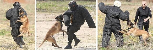 """Policjant oraz reporter """"Głosu""""(na zdjęciu po prawej) w starciu z Hansem, nowym psem patrolowo-tropiącym słupskiej policji."""