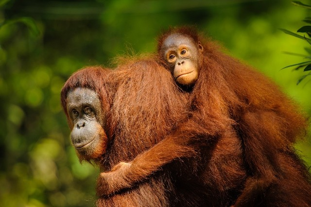 Produkcja oleju palmowego niszczy lasy tropikalne w Azji Południowo-Wschodniej i przyczynia się do zagłady wielu gatunków zwierząt, głównie orangutanów.