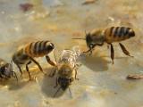 Gniazdo pszczół przy domu: co z nim zrobić