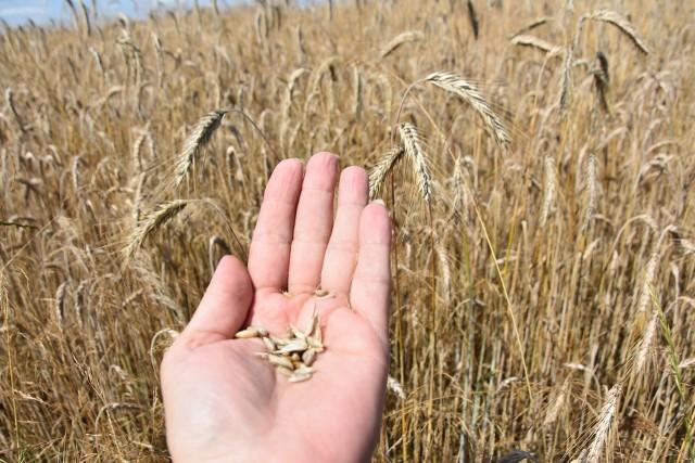 Ziarno jest w tym sezonie drobne, ale na szczęście nie jest złej jakości, większość zbóż spełnia podstawowe parametry