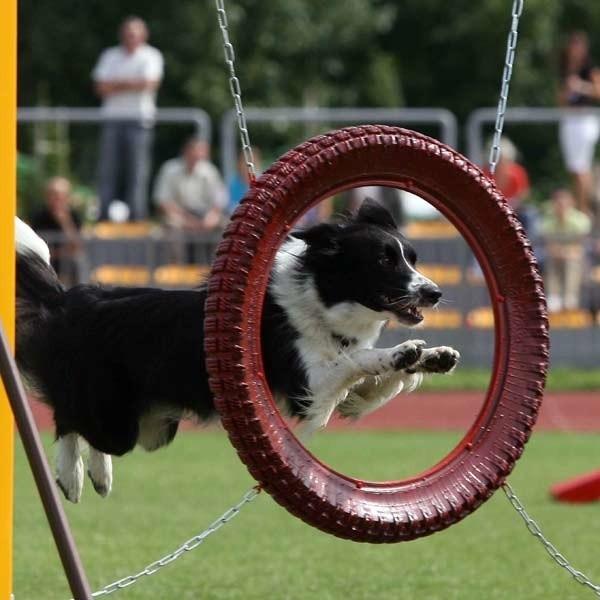 Czy mały, czy duży, każdy pies uwielbia pochwalić się swoimi umiejętnościami na torze przeszkód agility.