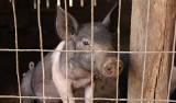 W związku z zagrożeniem ASF zwiększenie kontroli transportu żywych świń, zwalczanie kłusownictwa, kontrola restauracji i targowisk