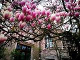 Cieszyn: czy już kwitną magnolie? Cieszyńskie magnolie są najsłynniejsze w Polsce. Wybierz się na szlak magnolii w 2021 roku