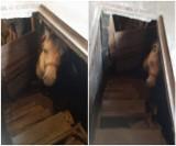 Stoczek Łukowski. Koń wpadł do piwnicy. Interweniowali strażacy