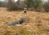 Nietypowa akcja strażaków. Ratowali bielika. Ranny ptak trafił do lecznicy pod Bydgoszczą [zdjęcia]