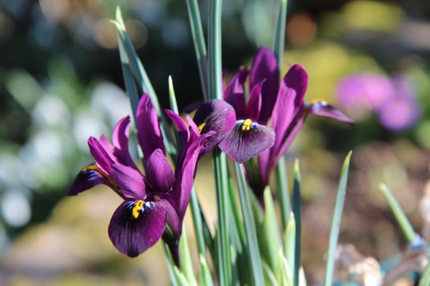 Irysy żyłkowane (Iris reticulata) nie są może bardzo...