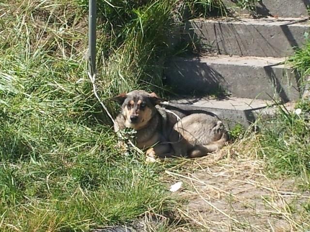 Pies został znaleziony przy schodach, za wałem od strony rzeki - z prawej strony w kierunku Świecia