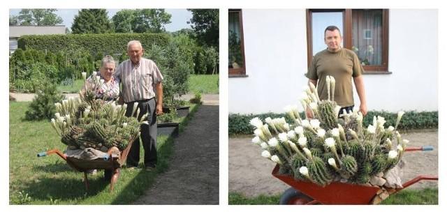 """Państwo Grobelni z Benic mogą pochwalić się wyjątkowym kaktusem nazywanym """"Królową jednej nocy"""". Roślina przyciąga zainteresowanie przechodniów i przyjezdnych. Zobaczcie jak wygląda!"""