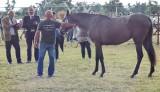 Nagrody dla koni z Pawłowa w czempionacie w Opatowcu [WIDEO, ZDJĘCIA]