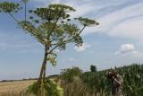 Barszcz Sosnowskiego – spotkanie z tą rośliną może się zakończyć bolesnymi oparzeniami. Jak wygląda i gdzie występuje?