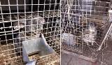 Wyrok w zawieszeniu i zakaz prowadzenia hodowli za piekło 289 zwierząt w Polanowie
