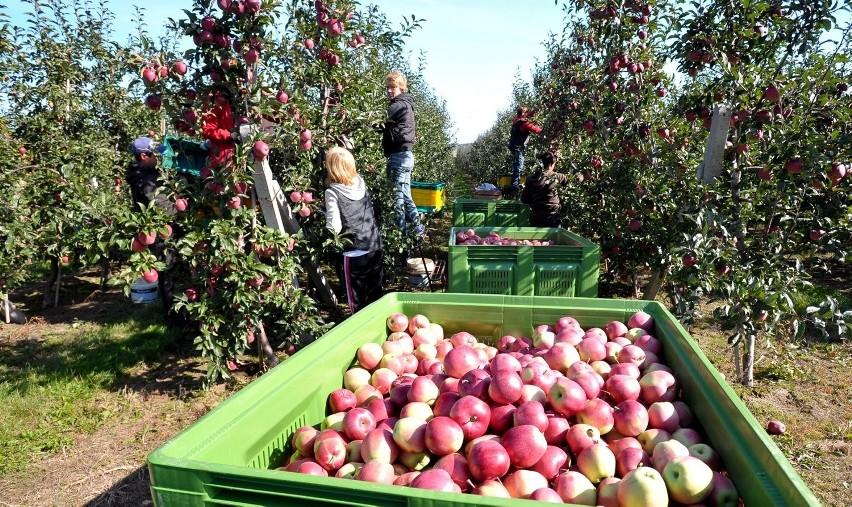 nowy design świetna jakość świetna jakość W lubelskich sadach rozpoczęły się zbiory jabłek (ZDJĘCIA ...