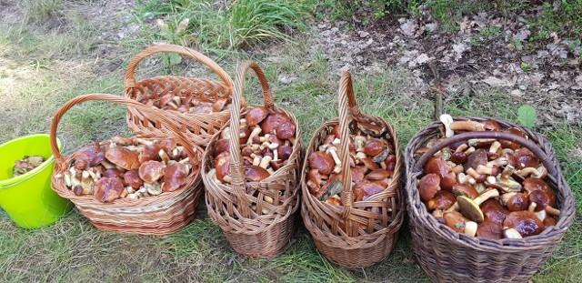 Grzyby w Wielkopolsce obrodziły. Ostatni weekend września to prawdziwy raj dla grzybiarzy. Wielkie grzybobranie w okolicach Poznania i całym regionie trwa w najlepsze. Ciepła i deszczowa pogoda oznacza jedno - grzybów nie zabraknie także w nadchodzących dniach. Gdzie jest ich najwięcej? W jakich lasach szukać największych okazów. Zobacz informacje i zdjęcia od naszych Czytelników! Przejdź dalej --->