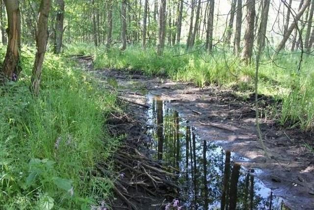 Przez tegoroczne susze wyschła m.in. rzeka Łutownia, przepływająca przez Puszczę Białowieską.