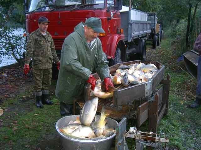 Karpie spożywa się w Polsce, na Ukrainie, Łotwie, Litwie, w Estonii, zachodniej części Rosji i we wschodnich Niemczech. W Australii ta ryba jest traktowana jak chwast i przeznaczana na paszę.