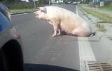 Co na ulicy w Leżajsku robiła ta świnia? Walczyła o życie, uciekając z transportu do ubojni
