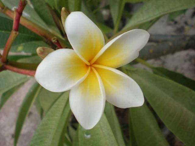 Tak pachnie KenzoFrangipani - symbol wieczności i nieśmiertelności. Kwiat, za którym po świecie jezdzą produceni slynnych perfum: Kenzo, Versace, Naomi Campbell. Rośnie  glównie w Ameryce Poludniowej i Tajlandii. Na cieplych wyspach Oceanu Indyjskiego wyrasta nawet przy plazach. Jego migdalowy zapach oszalamia.