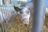 Rosło pogłowie świń, teraz kujawsko-pomorskie chlewnie znowu pustoszeją. Zawiniła niska opłacalność produkcji