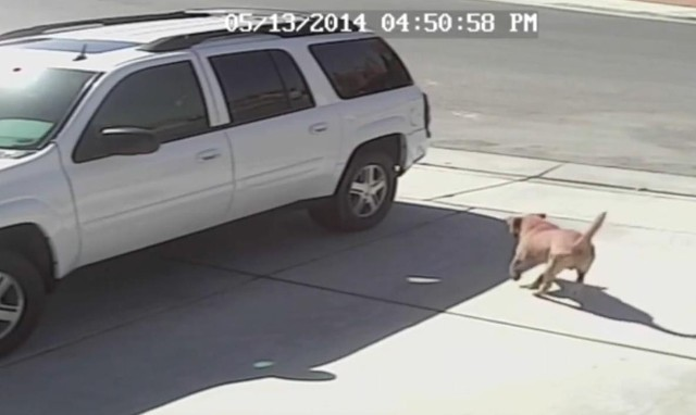 Bohaterski kot - rzucił się na agresywnego psa i uratował dziecko