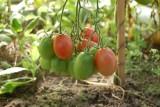 Nowy gatunek mątwika na pomidorze, ostrzega PIORiN