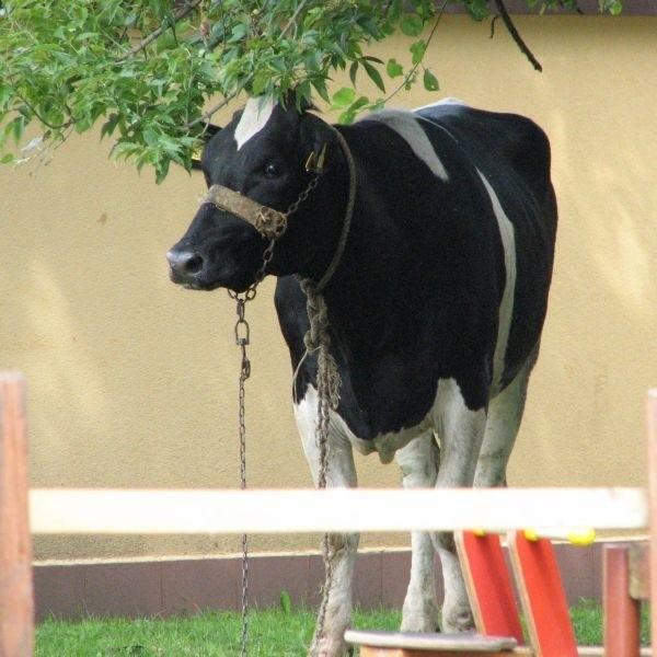 Krowa, która uciekła spod noża