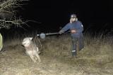 Wilk schwytany we wnyki był ratowany przez sztab ludzi (zdjęcia)