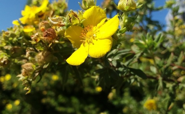 Pięciorniki krzewiaste kwitną ładnie i długo. Do tego są łatwe w uprawie, odporne na mróz, suszę i zanieczyszczenia.