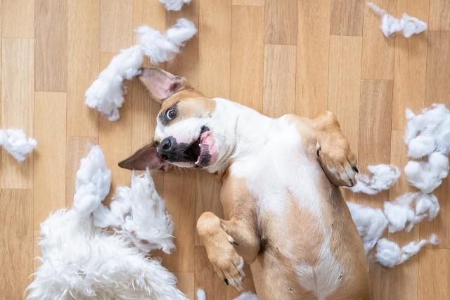 Oto najbardziej nieposłuszne rasy psów – one są najbardziej oporne na tresurę. Sprawdź, czy jest tu twój pies!