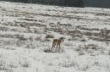 Czytelnik z zielonogórskiego Przylepu na spacerze z psem spotkał dwa wilki. - Chcę ostrzec spacerowiczów - mówi