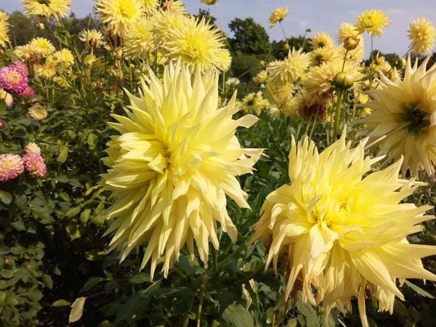 Cudowne dalie zwane też georginiami są w pełni kwitnienia w...