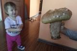 Grzybobranie 2019 w Lubuskiem. Nasz Czytelnik z Kotowic znalazł gigantycznego prawdziwka. Grzyb ważył aż 2,7 kilograma! [ZDJĘCIA]