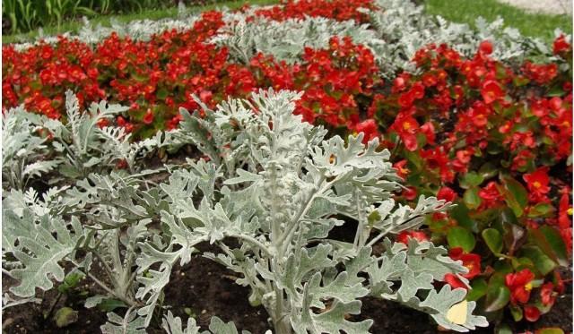 Rośliny o srebrnych liściach wyglądają ładnie, mają też niewielkie wymagania. Zobacz, co warto mieć w ogrodzie i na balkonie.