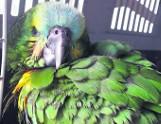 Papuga uciekła właścicielom