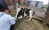 LUBUSKIE Właściciel skazał krowę na śmierć. Zagłodzona, odwodniona, połamana, leżała obok sterty śmieci. Potrzebna pomoc!