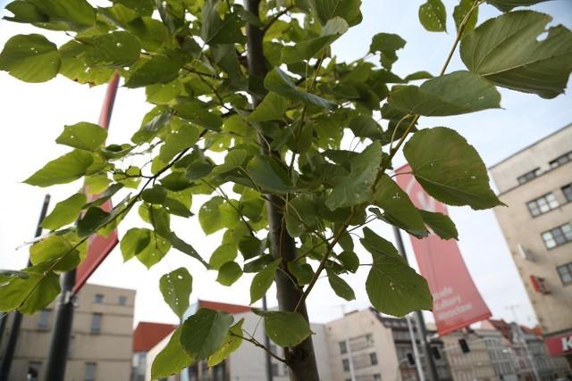 W tym roku na jesienne sadzenie drzew i krzewów oraz ich pielęgnację Wrocław przeznaczy ponad 3,5 mln zł. Planowo w mieście ma przybyć 1,5 tys. drzew i 45 tys. krzewów. Będą sadzone głównie przy parkach, ulicach i przystankach.Zobacz na kolejnych slajdach, czym kieruje się miasto przy wyborze takich miejsc, a także przykładowe lokalizacje - posługuj się myszką, klawiszami strzałek na klawiaturze lub gestami