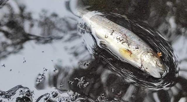 Ekosystem rzeki Liśnica został poważnie nadwyrężony. Zginęły tysiące ryb.