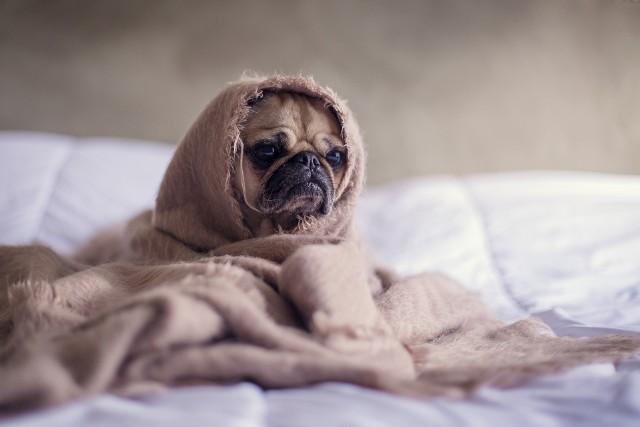 Kobiety śpią  lepiej, gdy obok śpi ich pies, niż wtedy, gdy obok jest mężczyzna. Tak wynika z najnowszych badań. Donoszą one też, że niezbyt wygodnie śpi się obok kota. Badania zostały wykonane przez zespół pod kierownictwem dr Christy L. Hoffman, badaczki zajmującej się zachowaniami zwierząt na Uniwersytecie w nowojorskim Buffalo. Celem badania było przeanalizowanie tego, jak na jakość snu wpływają zwierzęta, z którymi śpimy.W badaniu wzięły udział 962 kobiety, mieszkające w Stanach Zjednocznych. 57 proc. badanych dzieliło łózko z partnerem, 55 proc. z przynajmniej jednym psem a 31 proc. z minimum jednym kotem. Uczestniczki poproszono o określenie jakości swojego snu przy pomocy pytań zawartych w kwestionariuszu jakości snu Pittsburgh.Wyniki badania:1. Osoby, które dzielą łóżko z psem mają wyższej jakości sen i bardziej wypoczywają podczas snu. Zdaniem osób badanych psy przeszkadzają mniej niż ich partnerzy, a obecność czworonogów daje poczucie bezpieczeństwa i jest przyjemne.2. Właścicielki kotów opisywały te zwierzęta, jako równie przeszkadzające w spokojnym śnie co ich partnerzy. Koty w łóżku dawały też znacznie mniejsze poczucie bezpieczeństwa i wygody niż psy i mężczyźni.3. Osoby posiadające psy chodzą spać i wstają wcześniej niż czynią to posiadacze kotów.Komentarz do badania -  warto pamiętać, że opierało się ono na deklaracjach badanych kobiet, czyli na tym, jak same postrzegają i oceniają jakość swojego snu i ewentualne jego zakłócenia. Wyniki badań są uśrednione, co oznacza, że nie dla każdego pies będzie najlepszym rozwiązaniem na problemy ze snem. Poza tym pies, psu nierówny - dodaje Hoffman - podając przykład psów, które głośno chrapią, czyniąc sen właścicielki mocno niespokojnym. Zapytaliśmy naszych czytelników na Facebooku czy pies w łóżku to dobry pomysł - zobacz co odpowiedzieli.Zobacz na kolejnych slajdach czy zwieszak w łóżku to dobry pomysł - posługuj się myszką, klawiszami strzałek na klawiaturze lub gestami