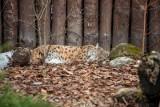 Jakie zwierzęta można zobaczyć w Białymstoku? Jest żbik Maurycy, osioł Waldi czy niedźwiedź Grześ. Poznaj mieszkańców Akcent ZOO (zdjęcia)