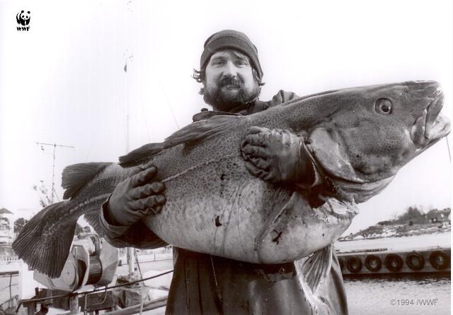 Zdjęcie wykonano w 1994 r. Obecnie poławiane dorsze najczęściej liczą tylko 20-30 cm.