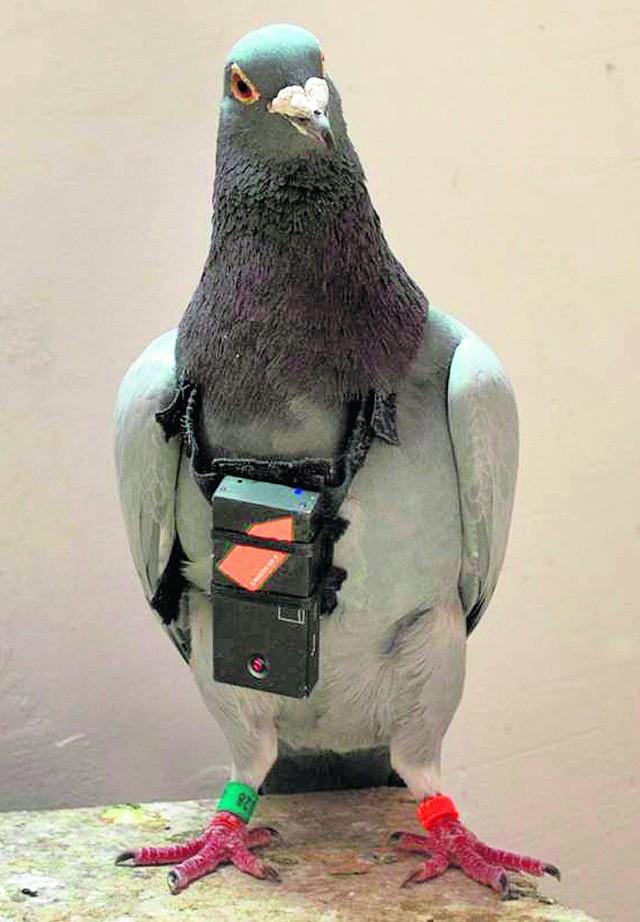 Gołębie wyposażono w kamerki ważące 18,5 grama